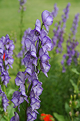 Common Monkshood (Aconitum napellus) at Bartlett's Farm