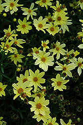 Creme Brulee Tickseed (Coreopsis 'Creme Brulee') at Bartlett's Farm