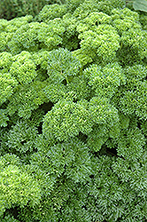 Parsley (Petroselinum crispum) at Bartlett's Farm