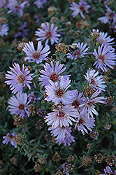 Woods Blue Aster (Aster 'Woods Blue') at Bartlett's Farm