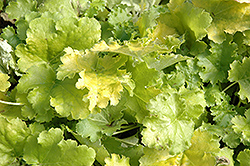 Lime Rickey Coral Bells (Heuchera 'Lime Rickey') at Bartlett's Farm