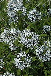Blue Star Flower (Amsonia tabernaemontana) at Bartlett's Farm