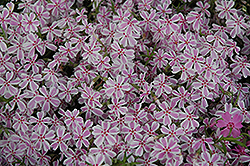 Candy Stripe Moss Phlox (Phlox subulata 'Candy Stripe') at Bartlett's Farm