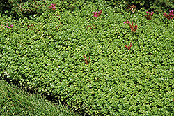 John Creech Stonecrop (Sedum spurium 'John Creech') at Bartlett's Farm
