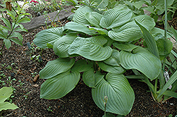 Fried Green Tomatoes Hosta (Hosta 'Fried Green Tomatoes') at Bartlett's Farm