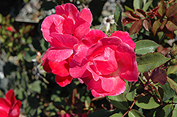 Pink Knock Out® Rose (Rosa 'Radcon') at Bartlett's Farm
