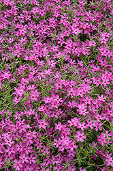 Crimson Beauty Moss Phlox (Phlox subulata 'Crimson Beauty') at Bartlett's Farm