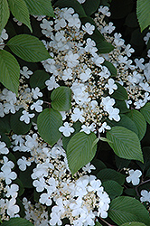 Maries Doublefile Viburnum (Viburnum plicatum 'Mariesii') at Bartlett's Farm