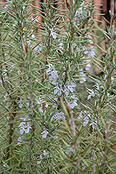 Arp Rosemary (Rosmarinus officinalis 'Arp') at Bartlett's Farm