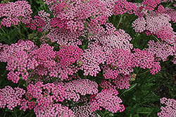 Pink Grapefruit Yarrow (Achillea 'Pink Grapefruit') at Bartlett's Farm