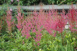 Visions in Pink Chinese Astilbe (Astilbe chinensis 'Visions in Pink') at Bartlett's Farm