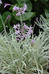 Tricolor Variegated Society Garlic (Tulbaghia violacea 'Tricolor') at Bartlett's Farm