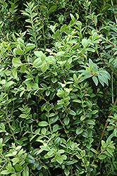 Graham Blandy Boxwood (Buxus sempervirens 'Graham Blandy') at Bartlett's Farm