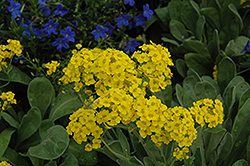 Basket Of Gold Alyssum (Aurinia saxatilis) at Bartlett's Farm