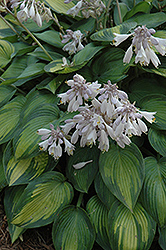 June Hosta (Hosta 'June') at Bartlett's Farm