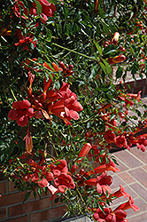 Flamenco Trumpetvine (Campsis radicans 'Flamenco') at Bartlett's Farm