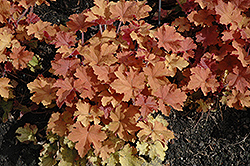 Caramel Coral Bells (Heuchera 'Caramel') at Bartlett's Farm