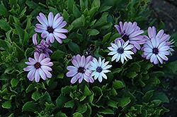 Asti Purple Bicolor African Daisy (Osteospermum 'Asti Purple Bicolor') at Bartlett's Farm