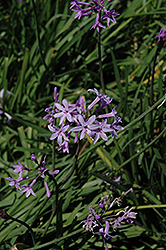 Society Garlic (Tulbaghia violacea) at Bartlett's Farm