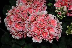 Savannah Light Salmon Geranium (Pelargonium 'Savannah Light Salmon') at Bartlett's Farm