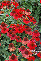 Sombrero® Salsa Red Coneflower (Echinacea 'Balsomsed') at Bartlett's Farm