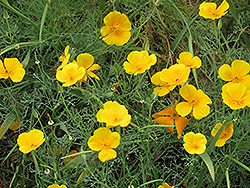 California Poppy (Escholtzia californica) at Bartlett's Farm
