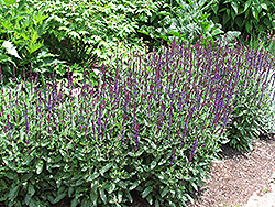 Caradonna Sage (Salvia x sylvestris 'Caradonna') at Bartlett's Farm