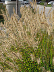 Hameln Dwarf Fountain Grass (Pennisetum alopecuroides 'Hameln') at Bartlett's Farm