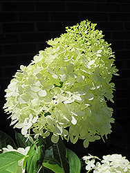 Limelight Hydrangea (Hydrangea paniculata 'Limelight') at Bartlett's Farm