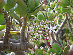 Jade Plant (Crassula ovata) at Bartlett's Farm
