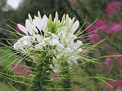 White Queen Spiderflower (Cleome hassleriana 'White Queen') at Bartlett's Farm