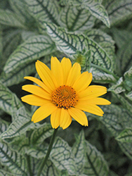 Loraine Sunshine False Sunflower (Heliopsis helianthoides 'Loraine Sunshine') at Bartlett's Farm