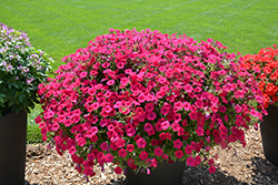 Supertunia Vista® Fuchsia Petunia (Petunia 'Supertunia Vista Fuchsia') at Bartlett's Farm