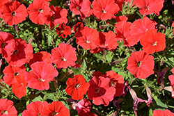 Supertunia® Really Red Petunia (Petunia 'Sunremi') at Bartlett's Farm