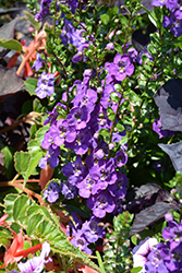 Angelface® Super Blue Angelonia (Angelonia angustifolia 'Angelface Super Blue') at Bartlett's Farm