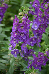 Angelface® Blue Angelonia (Angelonia angustifolia 'Angelface Blue') at Bartlett's Farm