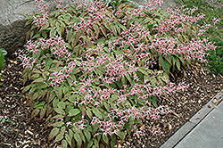 Pink Champagne Fairy Wings (Epimedium 'Pink Champagne') at Bartlett's Farm