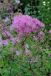 Black Stockings Meadow Rue (Thalictrum 'Black Stockings') at Bartlett's Farm