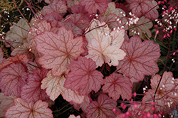 Georgia Peach Coral Bells (Heuchera 'Georgia Peach') at Bartlett's Farm