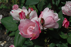 Blushing Knock Out® Rose (Rosa 'Radyod') at Bartlett's Farm