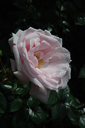 New Dawn Rose (Rosa 'New Dawn') at Bartlett's Farm