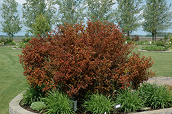 Coppertina® Ninebark (Physocarpus opulifolius 'Mindia') at Bartlett's Farm