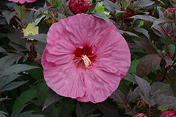 Summerific® Berry Awesome Hibiscus (Hibiscus 'Berry Awesome') at Bartlett's Farm