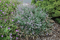 Cat's Meow Catmint (Nepeta x faassenii 'Cat's Meow') at Bartlett's Farm