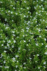 White False Heather (Cuphea hyssopifolia 'Alba') at Bartlett's Farm