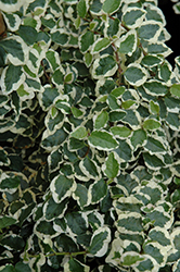 Variegated Creeping Fig (Ficus pumila 'Variegata') at Bartlett's Farm