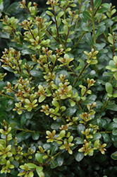 Compact Inkberry Holly (Ilex glabra 'Compacta') at Bartlett's Farm