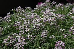 Lavender Stream Sweet Alyssum (Lobularia maritima 'Lavender Stream') at Bartlett's Farm
