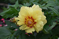 Misaka Peony (Paeonia 'Beautiful Blossom') at Bartlett's Farm