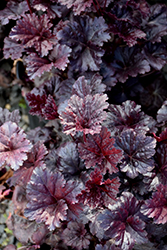 Black Sea Coral Bells (Heuchera 'Black Sea') at Bartlett's Farm